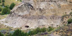 Buffalo grazing at Theodore Roosevelt National Park