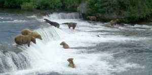 Brown bears catching salmon in a waterfall at Katmai National Park and Preserve